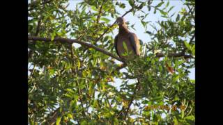 דקלון צל עץ תמר הקולות של פיראוס