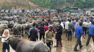 Chợ trâu trà lĩnh . Chợ gia súc lớn nhất miền Bắc (Vietnam's largest cattle and buffalo market)