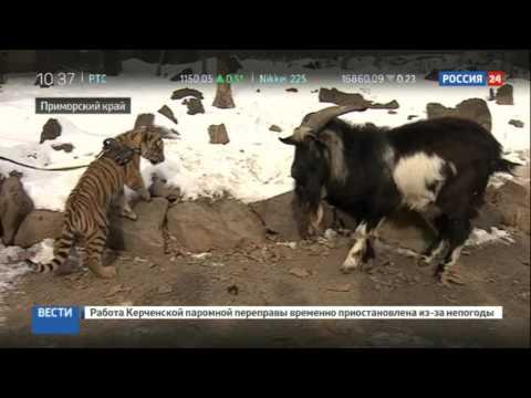 Детеныш тигра Амура подружился с собакой