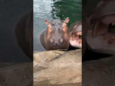 Home-Safari-Hippos-Cincinnati-Zoo