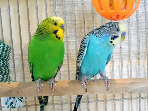 6 Hours Budgies Parakeets Singing, Chirping, Talking. Relaxing Videos. Nature Sounds.