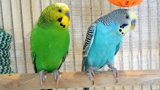 2 males and 2 females budgies making a master music in the Spr…