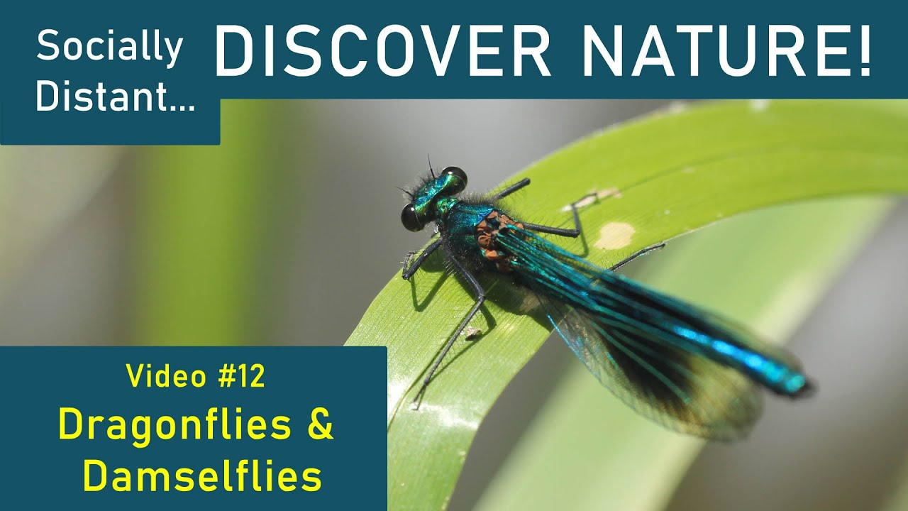 Socially Distant Discover Nature #12 - Dragonflies & Damselflies