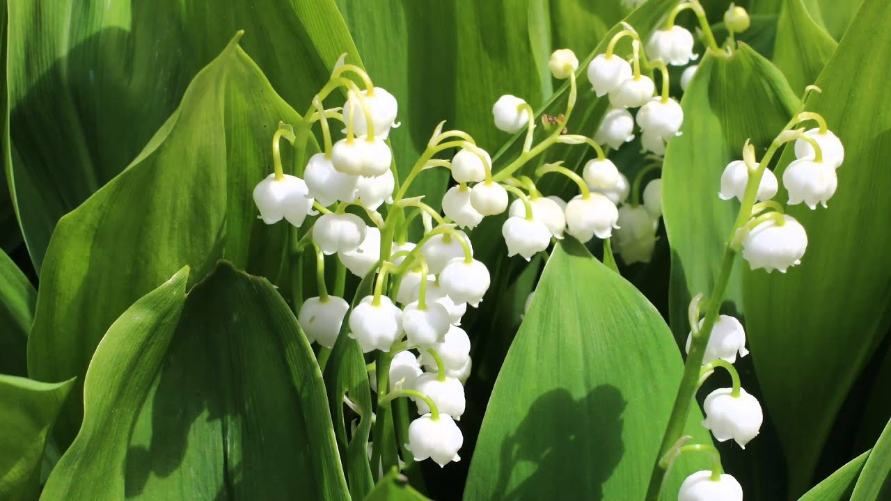 Lilies Of The Valley White Coral Bells Canon Youtube