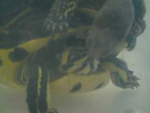 Accoppiamento tartarughe di acqua di diversa specie youtube for Accoppiamento tartarughe