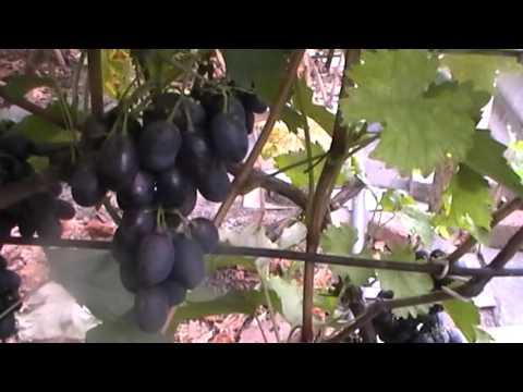 Сорт винограда Велес vinogradinfo