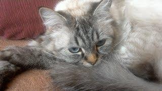 Голубоглазая кошка породы невская-маскарадная рассказывает о себе и своём новом друге