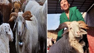 Genetic Mutated Ram with SIX horns spotted on Chinese farm & Owner said he was 'normal' at birth