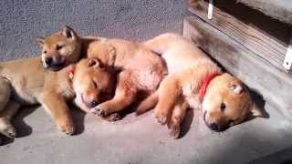 山陰柴犬、生後57日目。日向を見つけて昼寝する3兄妹の姿がかわいくて動...