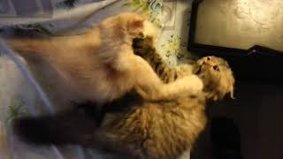 Adorable WWE Superstar Cats Fight | Funny Pets Video