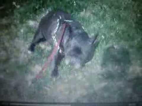 Perro que se tira pedos y se asusta HD / dog who was scared with his farts