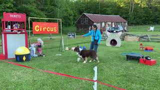 Kevin Stunt Dog Champion Two  Going to the Circus