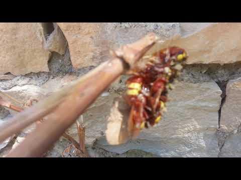 eşek arıları  bal arılarıma saldırınca bende tuzak kurdum