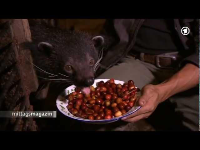 Luwak Kaffee - Spezialität aus Katzenkot