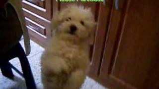 Un French Poodle Toy Bailando