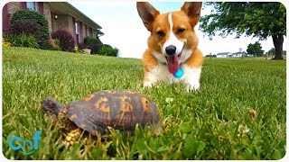 turtle startles corgi l the slow and the furious