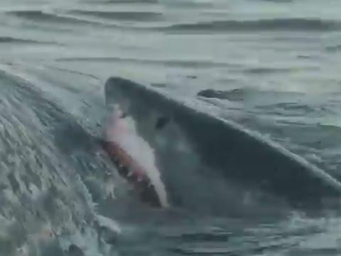 Festmahl in Australien: Hier zerlegen fünf Haie einen Pottwal