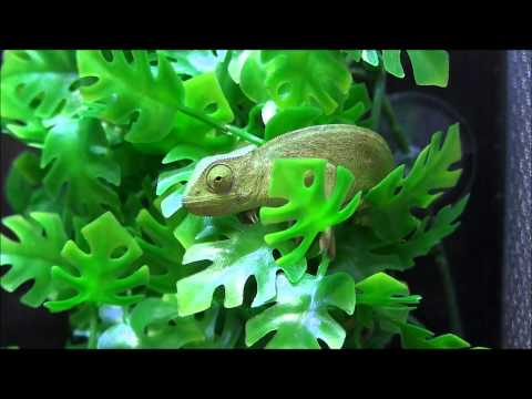 Senegal Chameleons