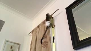 Squirrel monkey climbing all over the house