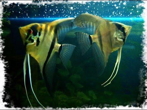 рыбка скалярия фото