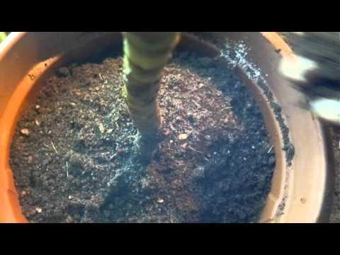 Вопрос: За сколько дней драцена пустит корни?