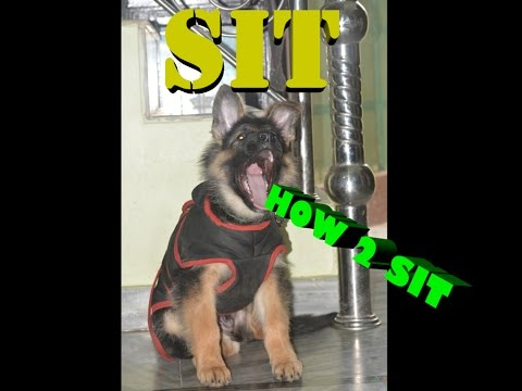 How To Train your Dog to Sit in Hindi : dog training in hindi