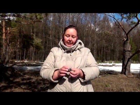 Настойка из сосновых шишек: применение и противопоказания