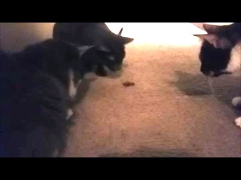 3 Cats Vs Giant Cockroach