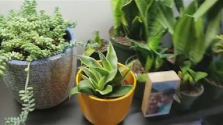 How to fill your burros tail succulent! Quick vlog from home!