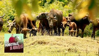 Шри-Ланка. Часть 1 - Про животных и людей | Живая Планета