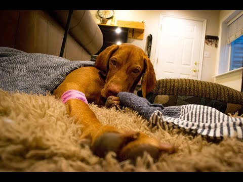 Vizsla Spay Operation and Recovery - Video 90