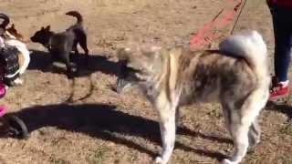 秋田犬に会いました!感動しました。やっぱり大型犬もカッコいいですね...