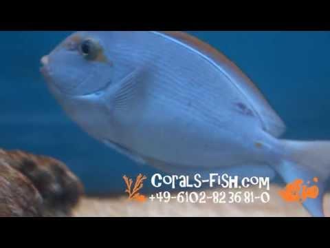 www.corals-fish.com  Acanthurus mata Elongate surgeonfish