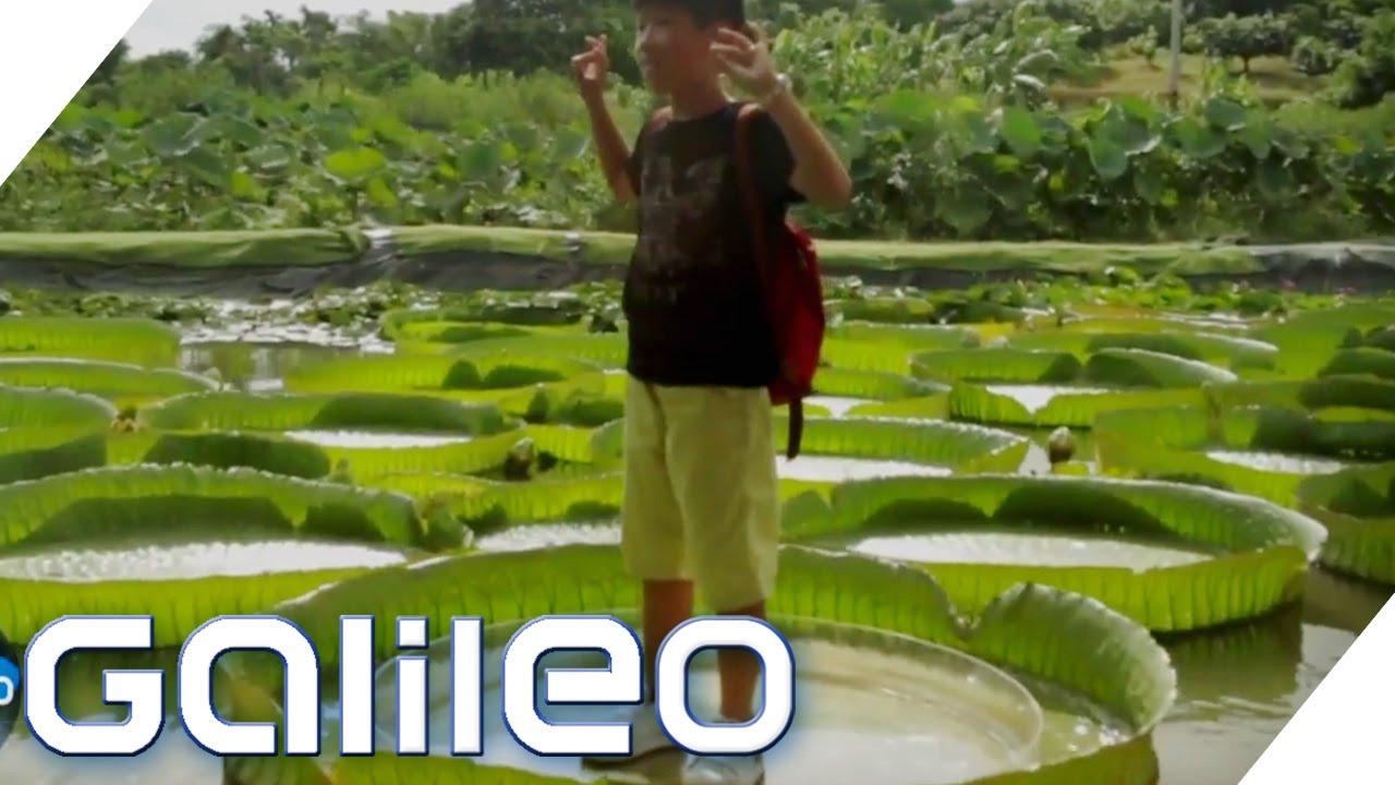 Die größten Pflanzen der Welt | Galileo Lunch Break