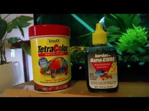 HOW TO CURE BETTA FISH WITH ICH AND CLAMPED FINS
