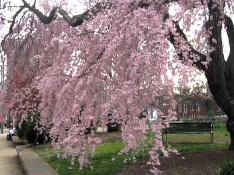 cherry blossom weeping willow youtube