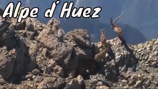 Amazing Mountain Goats in Alpe d´Huez | French Alps