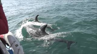 2015 Bardsey Island Risso's dolphin