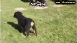 Rottweiler, Puppies, Dogs, For Sale, In Jacksonville, Florida, FL, 19Breeders, Orlando, Cape Coral