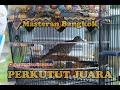 Perkutut Bangkok Juara Cocok Untuk Pancingan Masteran  Mp3 - Mp4 Download