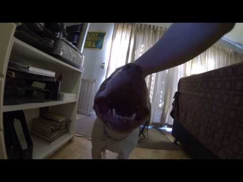 """Screw Your Stupid Dog Toy, I Just Wana Smile"": Red Nose Pit Bull Charlie from the Bronx GoPro Hero"