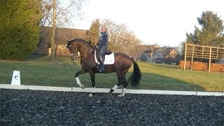 VENDU Genie 8 y old  Grand Prix prospect  stallion for sale