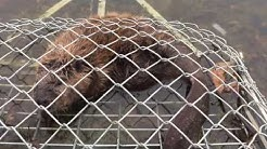 Beaver removal pest control Lake Ozark Adairs Animal