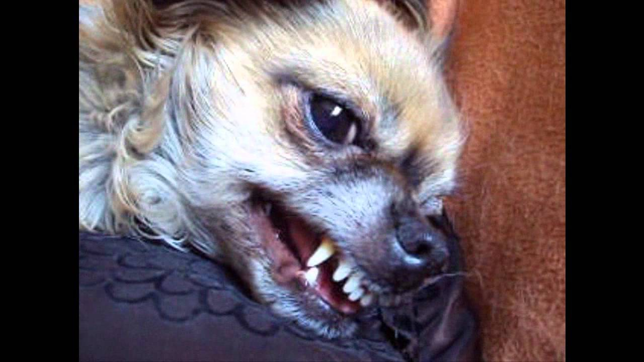 angry chihuahua   youtube