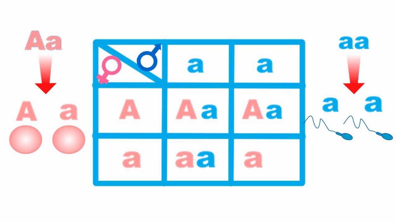 Resultado de imagem para quadrado de Punnet