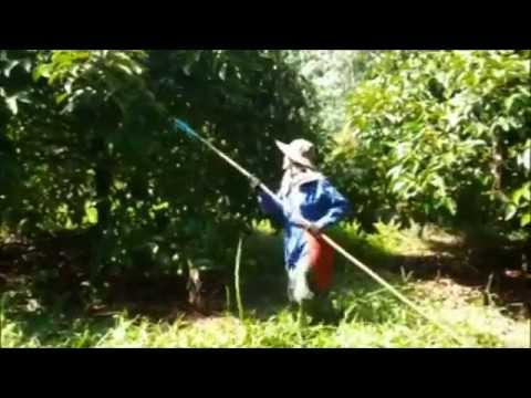 Mangosteen permaculture harvest in Thailand