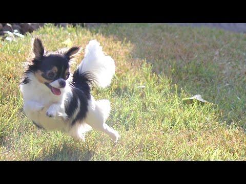 Pippi the 6 Million Dollar Chihuahua!
