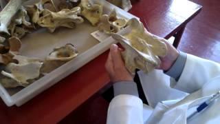 Анатомия животных  Шейный отдел  Часть 1