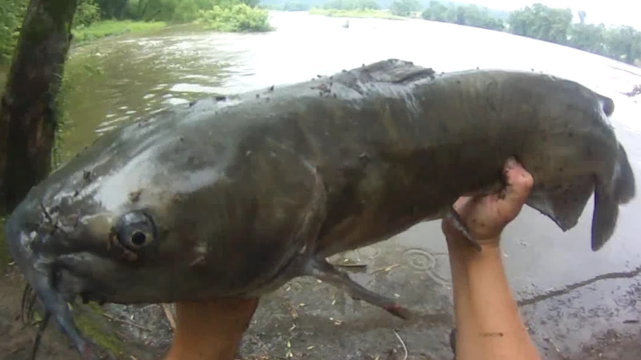 Bait fishing 98 flooded river channel catfish fishing for Fishing with chicken liver