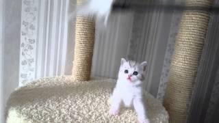 Кошечка черепаховая серебристая мраморная с белым